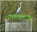 SK6011 : Grey heron next to the River Soar by Mat Fascione