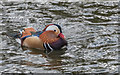 TQ2896 : Mandarin Duck, Trent Park, Cockfosters by Christine Matthews