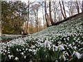 TF9336 : Down in The Dell - Snowdrops at Walsingham Abbey, Norfolk by Richard Humphrey