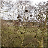 SE2342 : Witches' broom on Silver Birch, Woodlands Farm by Rich Tea