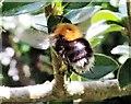 TQ7818 : A tree bee (Bombus hypnorum), Churchland Lane by Patrick Roper