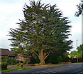 TG1713 : Conifer, Drayton by Stephen Richards
