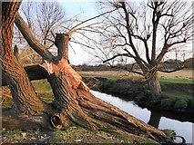 TQ2173 : Storm-damaged pollard willow by Beverley Brook, March 2017 by Stefan Czapski