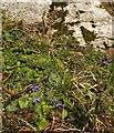 SX9065 : Violets near St Michael's Chapel by Derek Harper