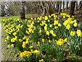 TQ5237 : Daffodils at Burrswood by Marathon