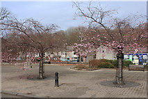 NS5225 : Cherry Blossom, Mill Square Catrine by Billy McCrorie