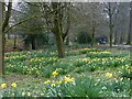 ST3388 : Daffodils in Beechwood Park, Newport by Robin Drayton