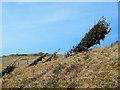 SY8180 : Windswept Bushes on Hambury Tout by Des Blenkinsopp