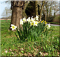 TG2219 : Daffodils at All Saints' church by Evelyn Simak