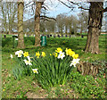 TG2219 : Daffodils on the edge of All Saints' churchyard by Evelyn Simak