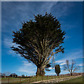 NM6726 : Big tree in Balure Cemetery by Peter Moore