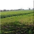TG1209 : Oilseed rape crop field by Marlingford by Evelyn Simak