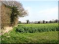TG1209 : Oilseed rape crop field east of Colton Road by Evelyn Simak