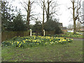 SJ7561 : Daffodils outside Offley House by Stephen Craven