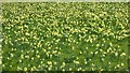 SO6730 : Wild daffodils at Kempley by Philip Halling