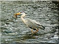 SU1093 : Heron, Town Bridge, Cricklade (2) by Brian Robert Marshall