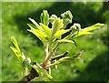 SX8749 : Rowan in spring by Derek Harper