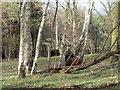 SE6537 : Hebridean sheep, Skipwith Common by Jonathan Thacker