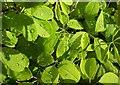 SX9265 : Raindrops on Pieris, Tessier Gardens by Derek Harper