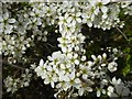 SO7238 : Hawthorn blossom by Philip Halling