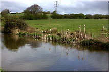 SD4764 : Rushes by the Lancaster canal by Robert Eva