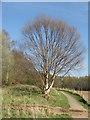 NN8618 : Sunlit Birch by M J Richardson
