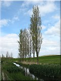 SU0196 : Poplars beside the infant Thames by David Purchase