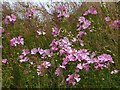 NS3974 : Musk Mallow by Lairich Rig