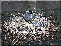 TQ3296 : Nesting Coot, New River Loop, Enfield by Christine Matthews
