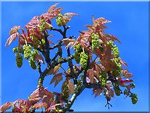 ST2885 : Acer leaves and catkins, Tredegar House gardens, Newport by Robin Drayton
