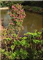 SX8963 : Rhododendron and Gunnera, lower lake, Cockington by Derek Harper