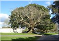 SU8808 : Spanish Chestnut in front of a Holm Oak by Rob Farrow