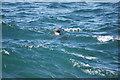 SC2484 : Seal at Peel by Stephen McKay
