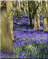 SP9714 : Bluebells in Dockey Woods, Hertfordshire by Christine Matthews