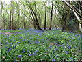 TQ2113 : Bluebells in Hoe Wood, Woods Mill Nature Reserve by PAUL FARMER