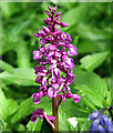 TG2404 : Early Purple Orchid (Orchis mascula) by Evelyn Simak