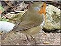 TA0340 : Having  a  break  from  gardening. Robin  Erithacus  rubecula by Martin Dawes