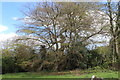 SO2413 : Ancient beech tree, Twyn Wenallt by M J Roscoe