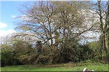 SO2413 : Ancient beech tree, Twyn Wenallt by M J Roscoe