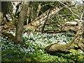 ST7093 : Wild garlic under the Tortworth Chestnut by Philip Halling