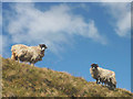 SD6886 : Swaledale sheep, High Lathe Gill by Karl and Ali