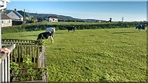 ST3000 : Cow field at the back of the Ridgeway Inn at Smallridge by David Medcalf