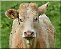 J3067 : Cattle, Drumbeg, Dunmurry - April 2017(1) by Albert Bridge
