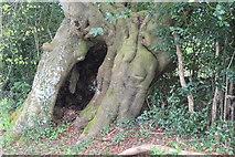 SO2413 : Bole of ancient beech, Twyn Wenallt by M J Roscoe
