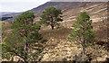 NN1590 : Pine trees beside Allt Dubh by Trevor Littlewood