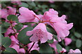 SH5573 : Dwarf Rhododendron 'Bow Bells' - detail by Richard Hoare