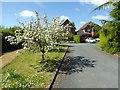 SO8642 : Apple trees in Earls Grange by Philip Halling