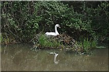 SP6989 : Mute Swan and Nest by Anthony Parkes