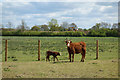 SU8376 : Cow & Calf by Des Blenkinsopp