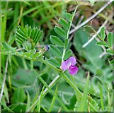 TG3204 : Common vetch (Vicia sativa) by Evelyn Simak